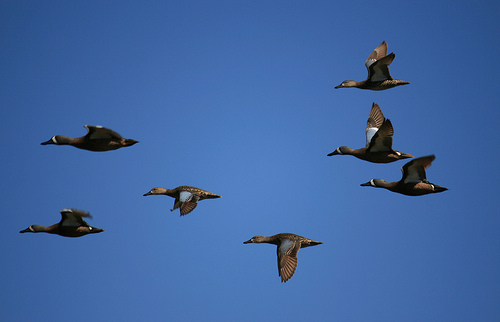 A spring of teals in flight. (photo via Flickr)